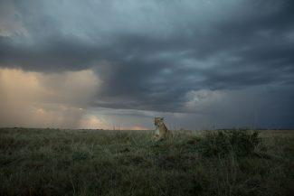 Lioness At Dusk
